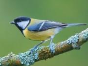 Combater a processionária atraindo aves